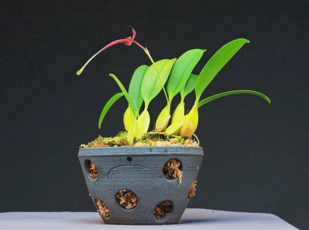 Pot pour plante épiphyte