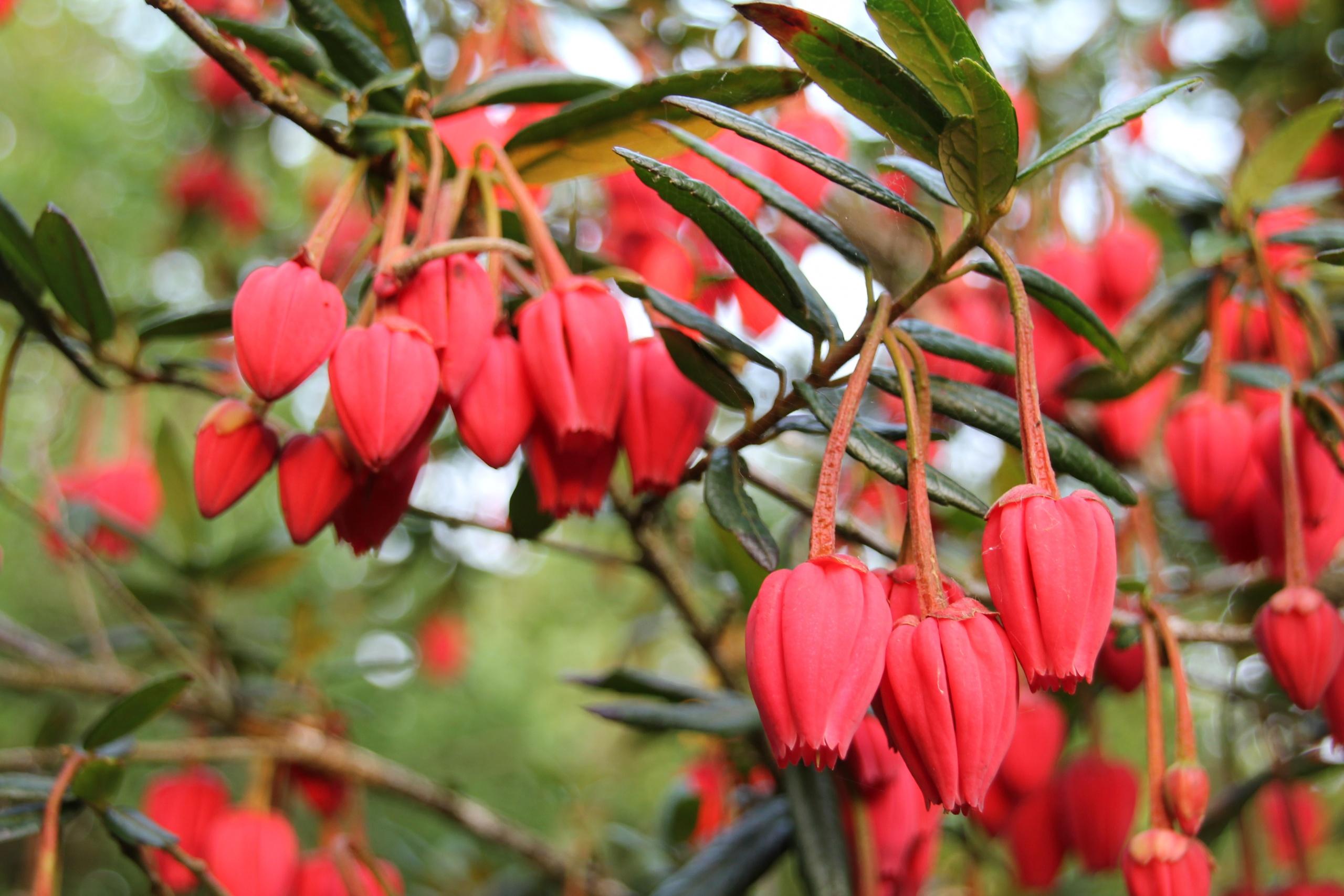 Crinodendron